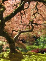 450px-Portland_Japanese_Garden_maple